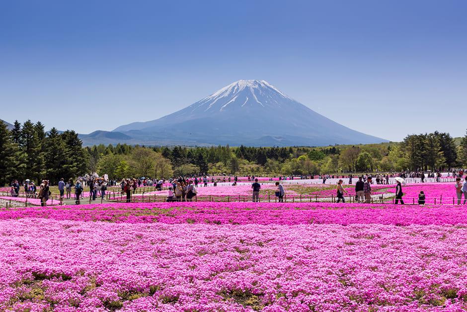 富士芝桜まつり2019